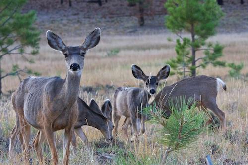 Deer at Bryce Canyon