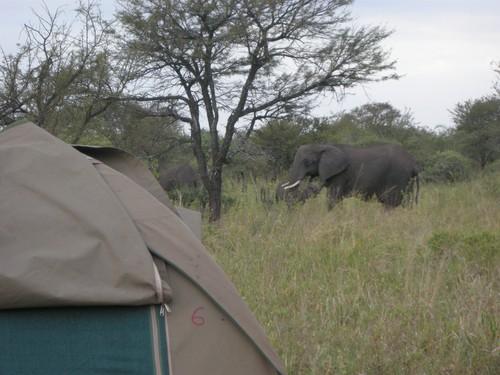 Elefanter i udkanten af vores lejr på Serengeti