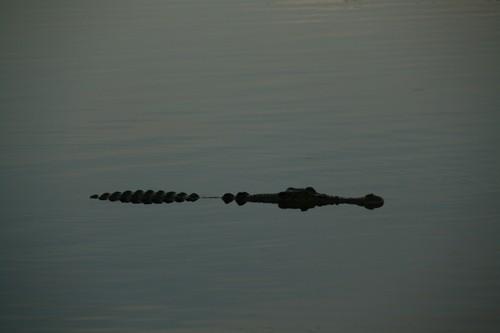 krokodille i vann