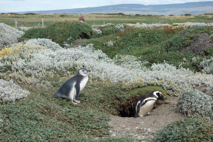 Pinguin kruipt uit z'n holletje