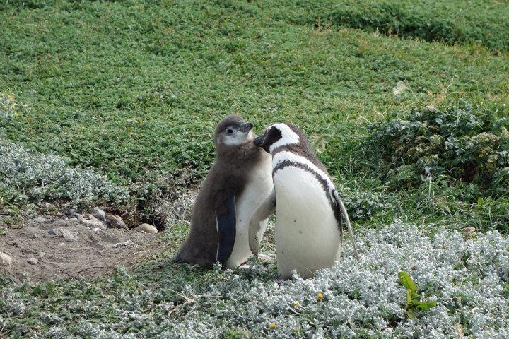 Jonge magellan-pinguins (eentje met z'n baby-haar) wordt geplukt door z'n ouder