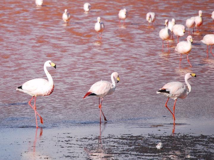 Flamingo's bij Laguna Colorado