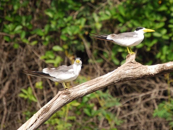 Pantanal, yellow-billed nog-iets