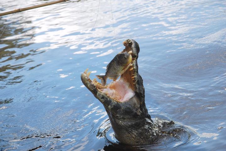 Kaaiman hapt naar een (dode) piranha