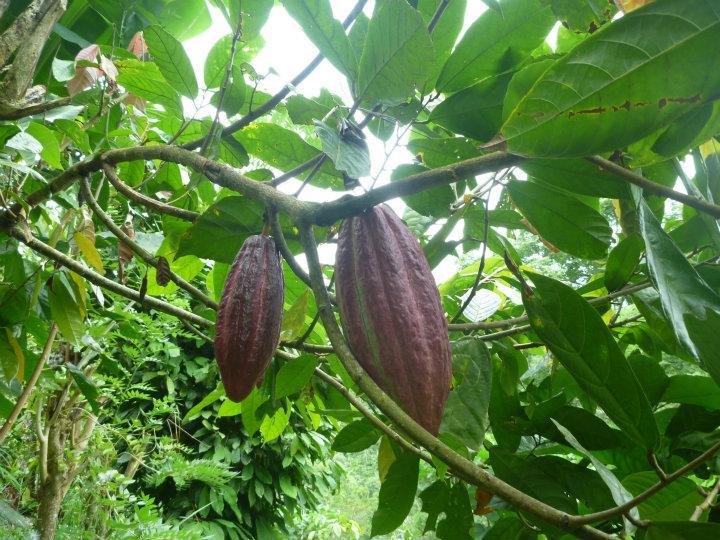 Kakaoplante Jakob Og Leas Asien
