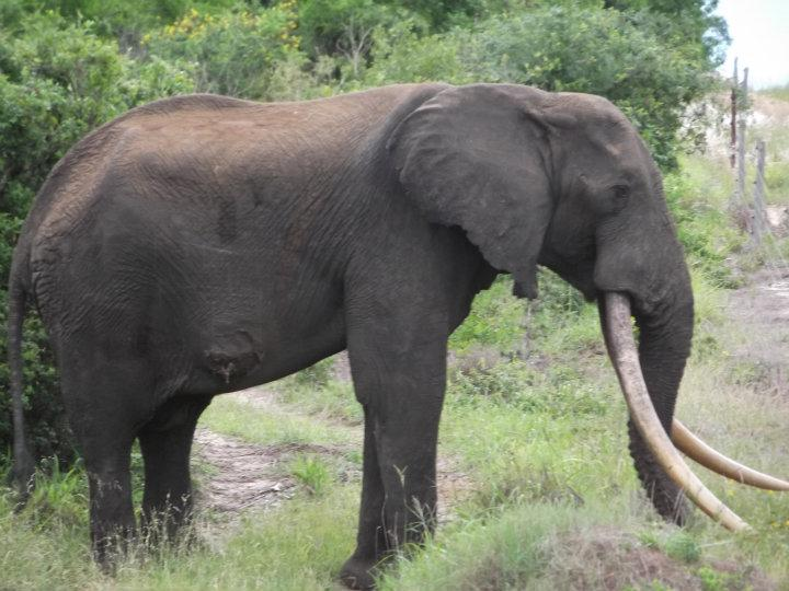 isilo the largest african elephant in the world born free