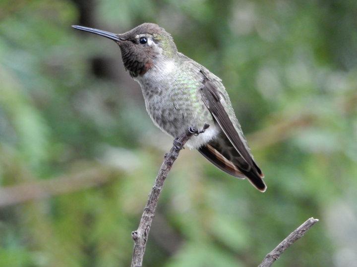 Big Sur Kolibri