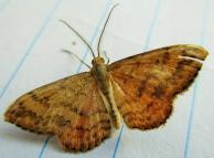 Moths NZ