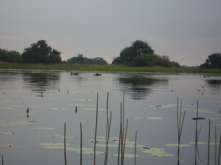 Flodhest i Okavango Delta