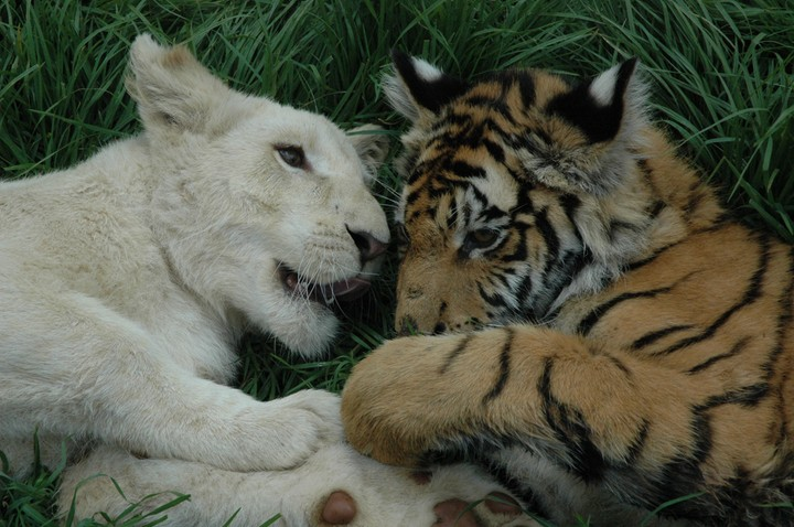 Gallery For > Tiger And Lion Cubs