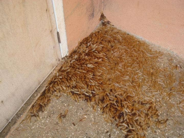 Ants vs Termites  A Side by Side Visual Comparison