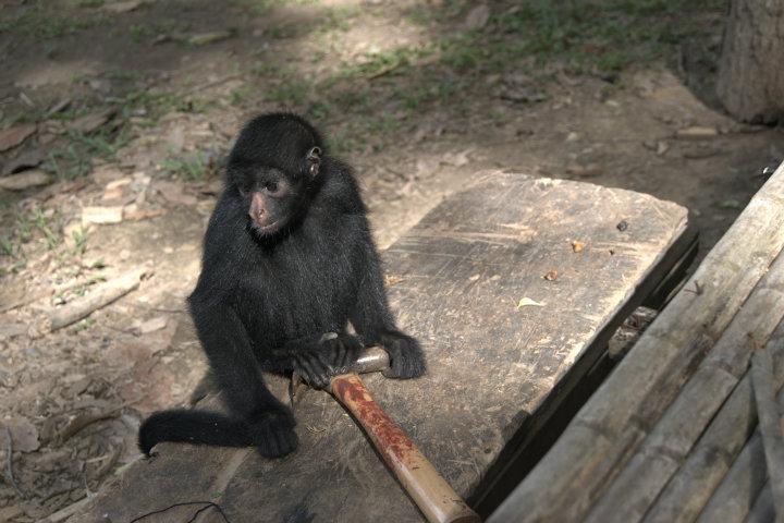 Snekker Ape