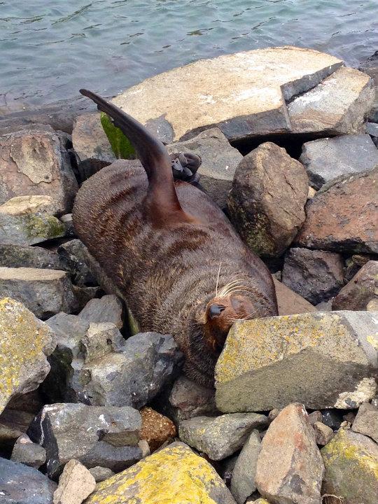 Dunedin Peninsula - Fur Seal