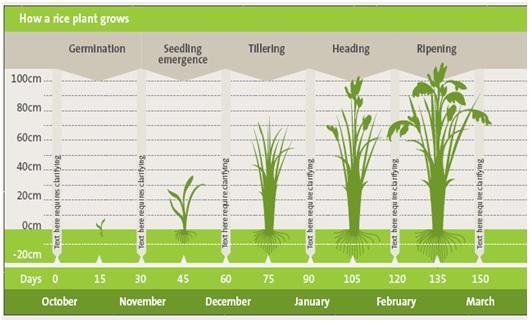Growth stages of a rice plant