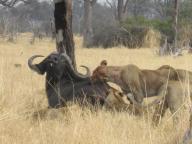 Victoria's African Adventures