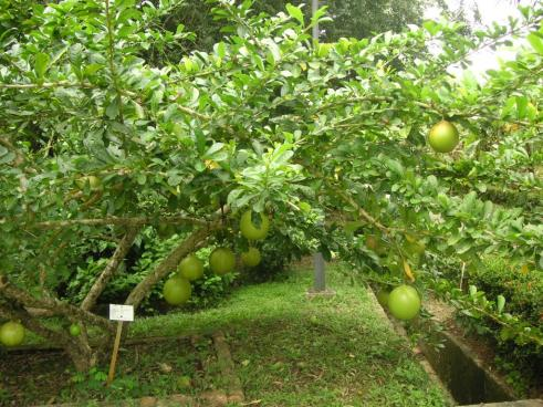 Pomelo Tree at Agricul...