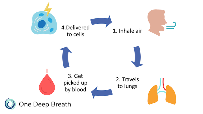 When we inhale air, it travels to the lungs where the oxygen is transported by red blood cells and is delivered to cells that need it.