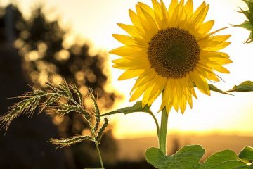 Image: Photo of a sunflower
