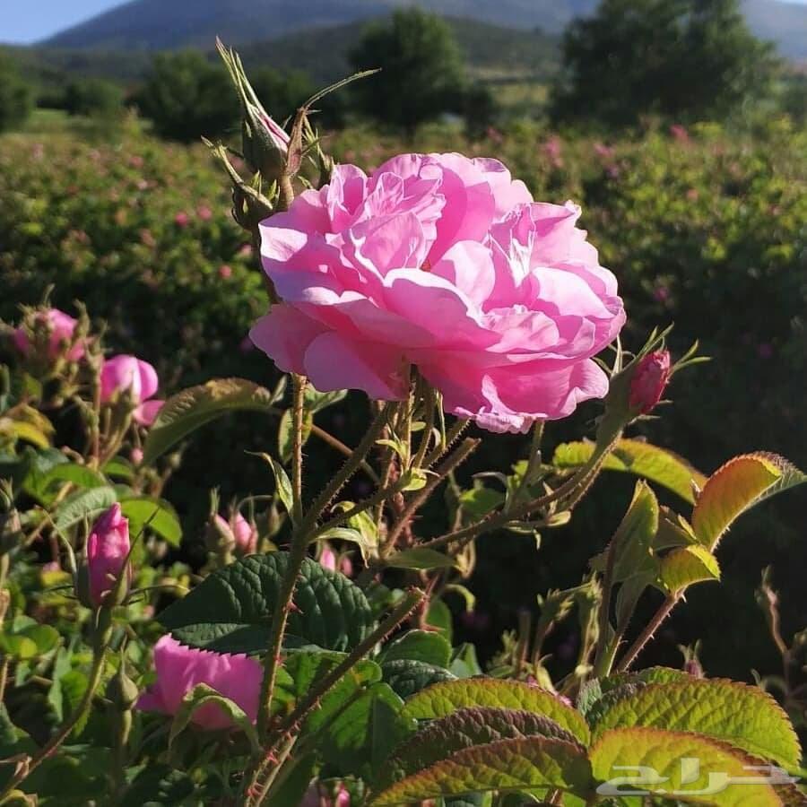 تعطير المهبل بماء الورد  تعطير المناطق الحساسه