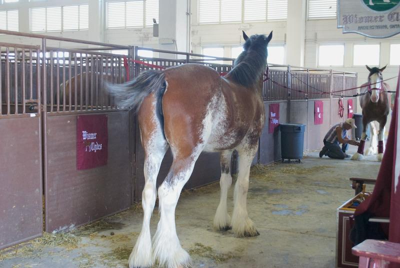 horse butts at fair