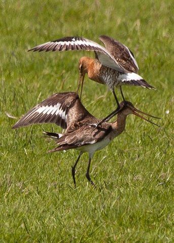 Weidevogels van de Eilandspolder en omgeving