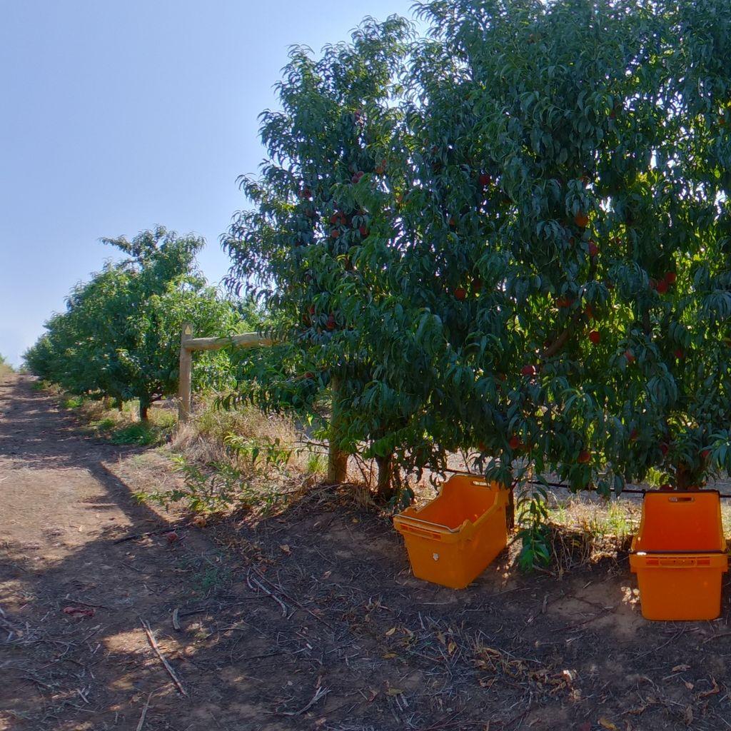 Low crop load: Peach on vertical trellis