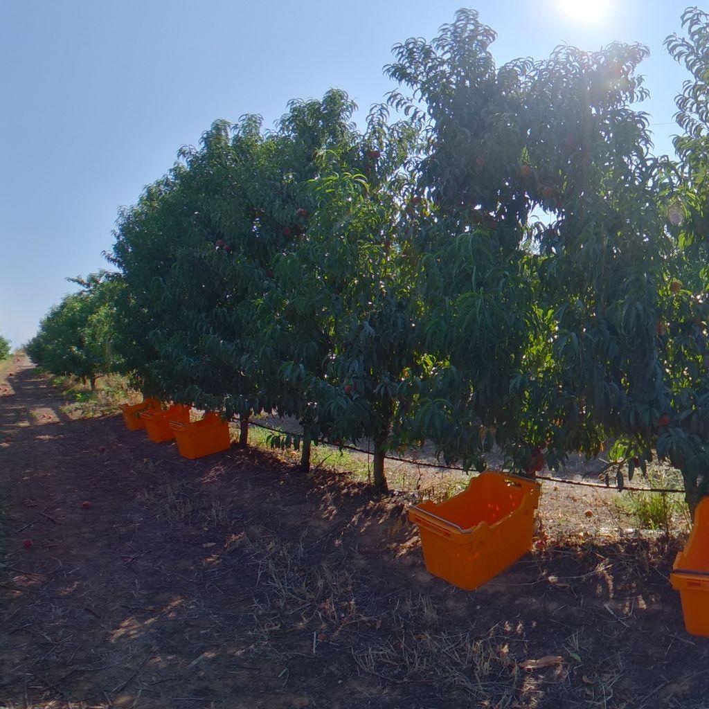 Medium crop load: Peach on vertical trellis