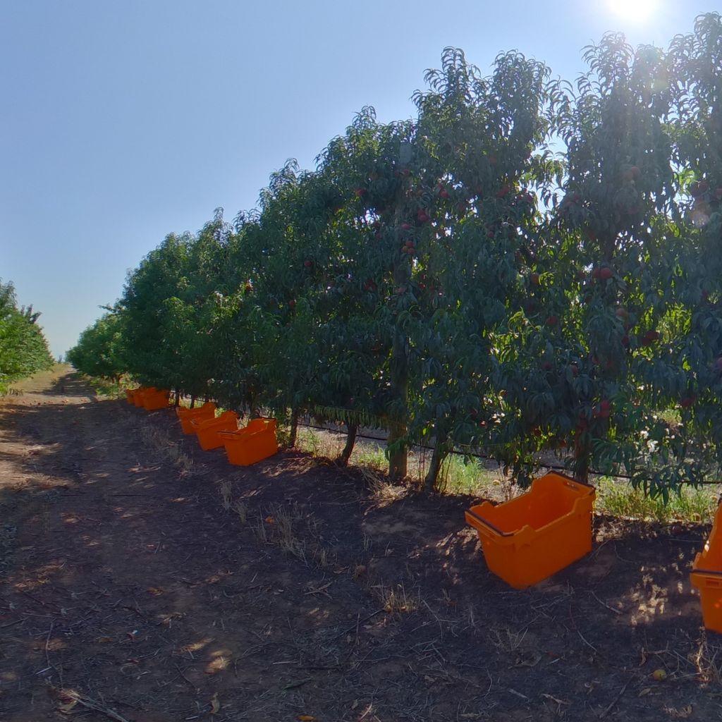 High crop load: Peach on vertical trellis