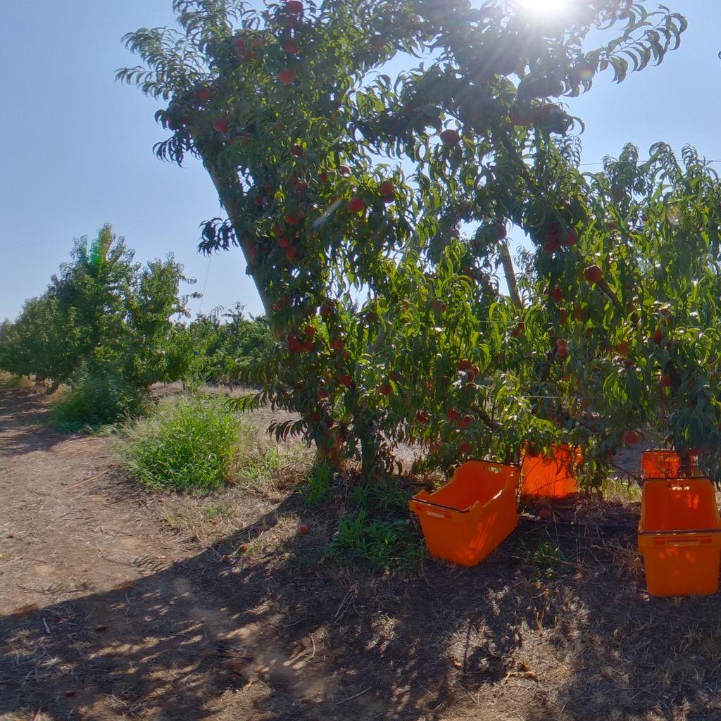 Medium crop load: Peach on Tatura trellis