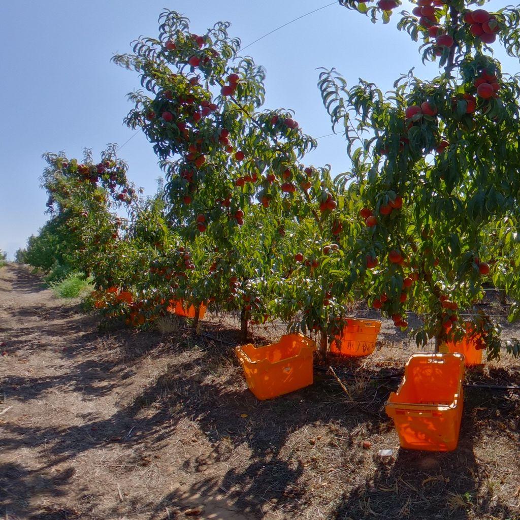 High crop load: Peach on Tatura trellis
