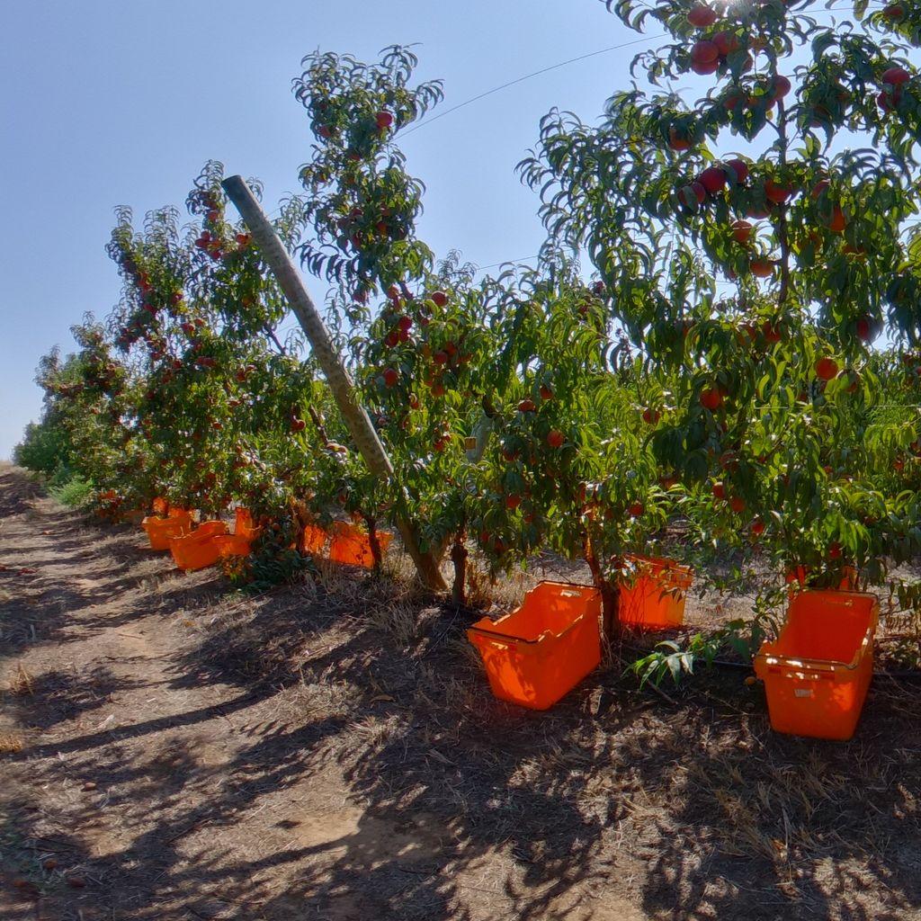 Low crop load: Peach on Tatura trellis