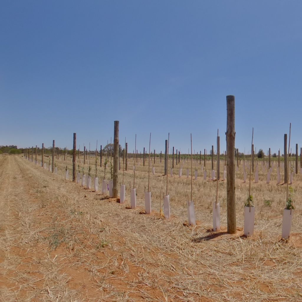 Trees planted at 0.5m spacing