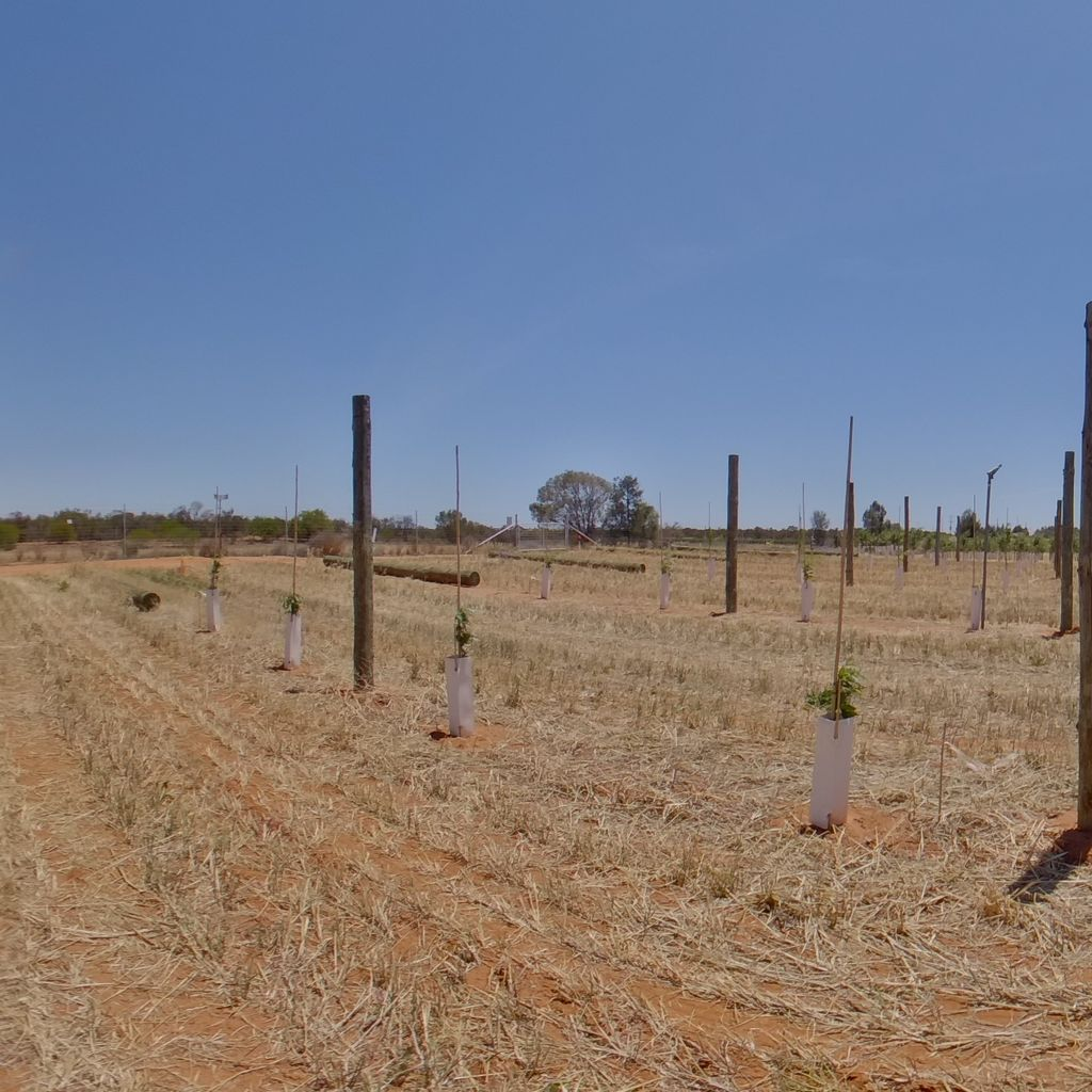 Trees planted at 2m spacing