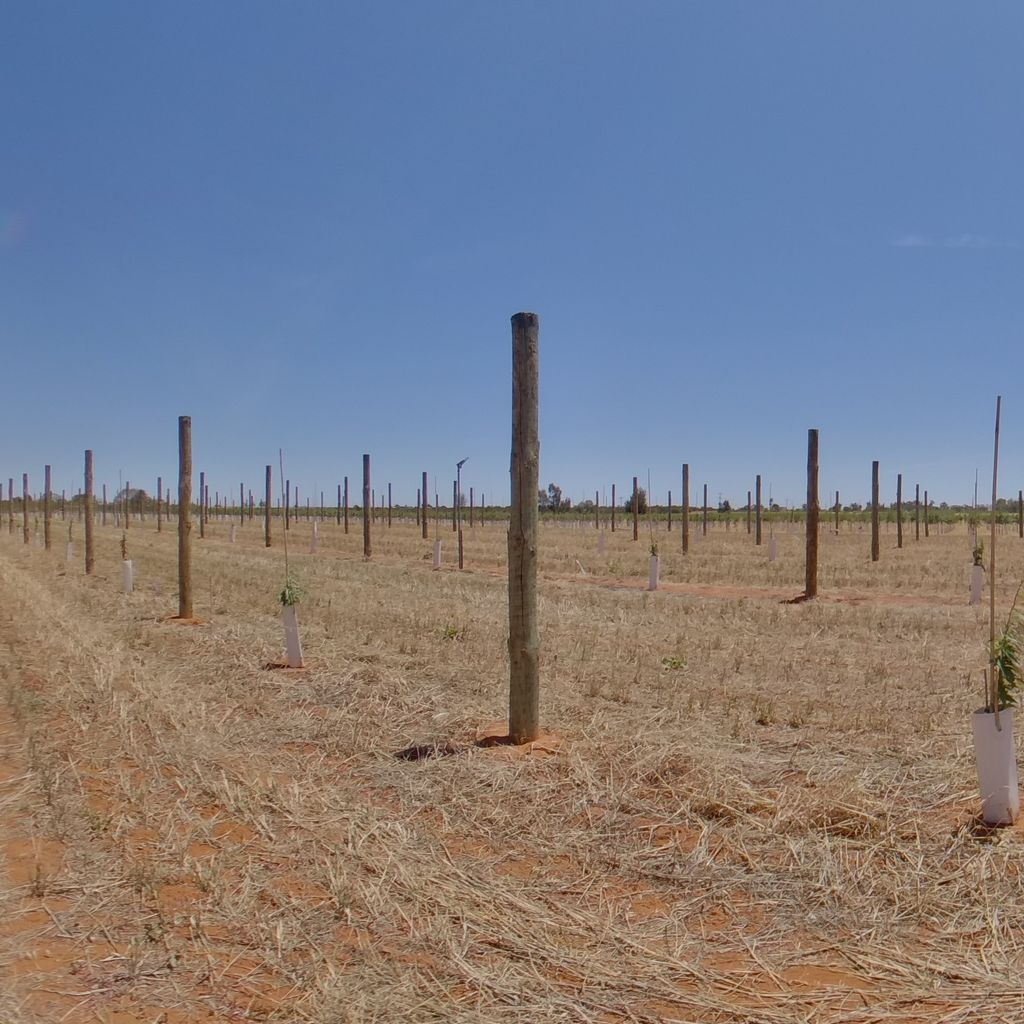 Trees planted at 4m spacing