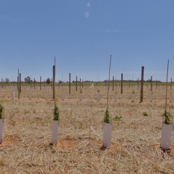 Trees planted at 1m spacing