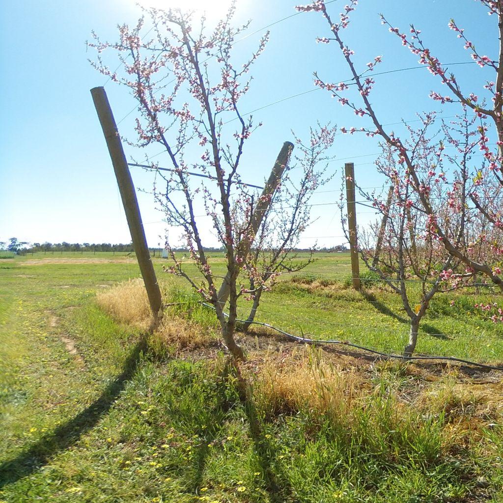 Stage I of fruit development - extreme deficit irrigation