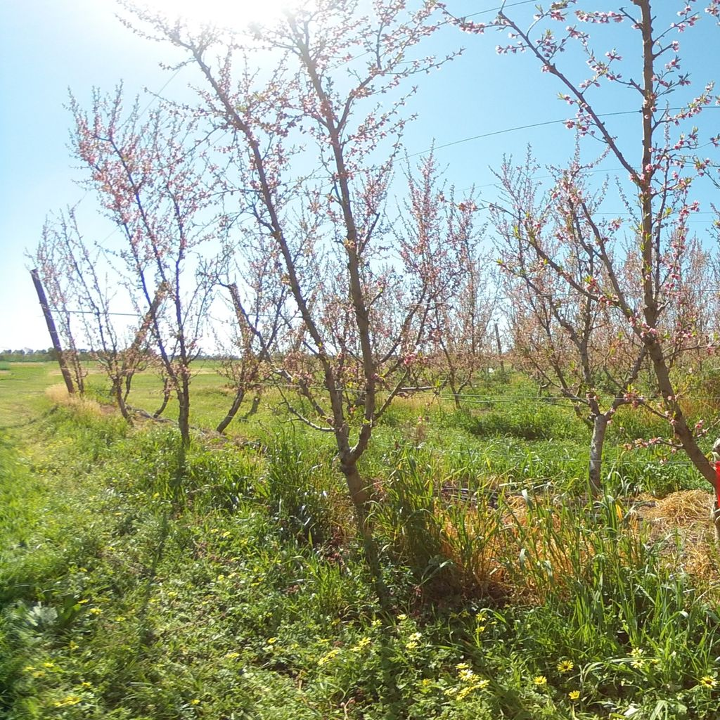 Stage IIIa of fruit development (early) - 40%: moderate deficit irrigation