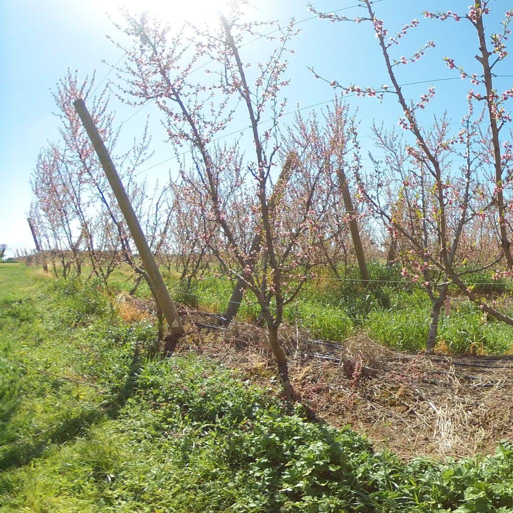 Stage I of fruit development - 40%: moderate deficit irrigation