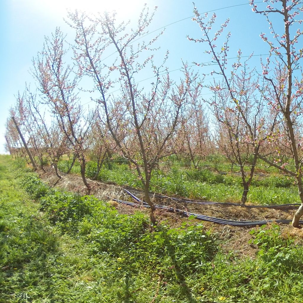 Stage IIIa of fruit development (early) - 0%: extreme deficit irrigation
