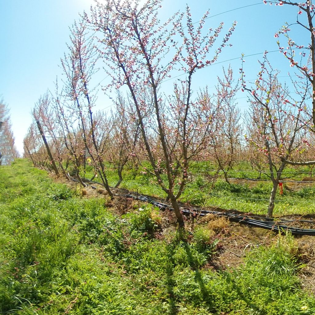 Stage II of fruit development - 20%: severe deficit irrigation