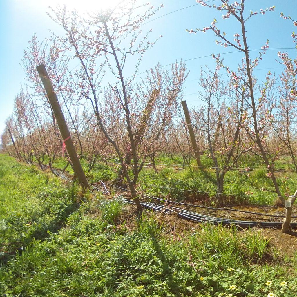 Stage II of fruit development - 0%: extreme deficit irrigation