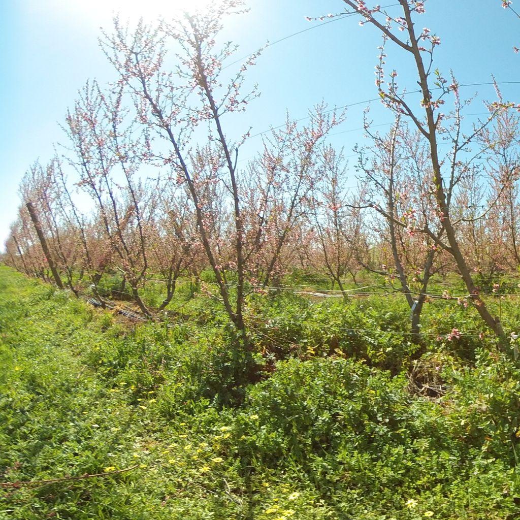 Stage IIIb of fruit development (late) - 0%: extreme deficit irrigation