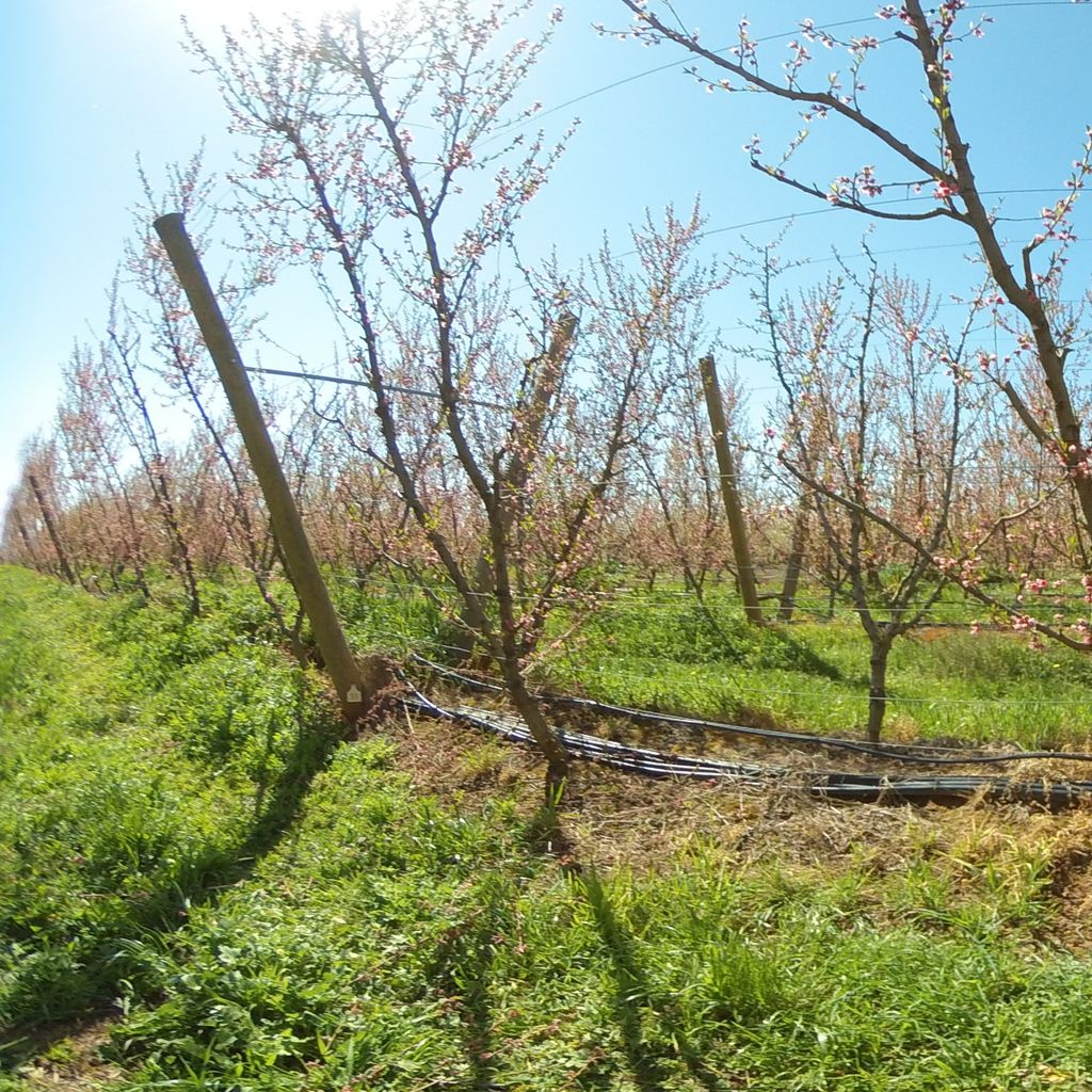 Stage IIIa of fruit development (early) - 20%: severe deficit irrigation