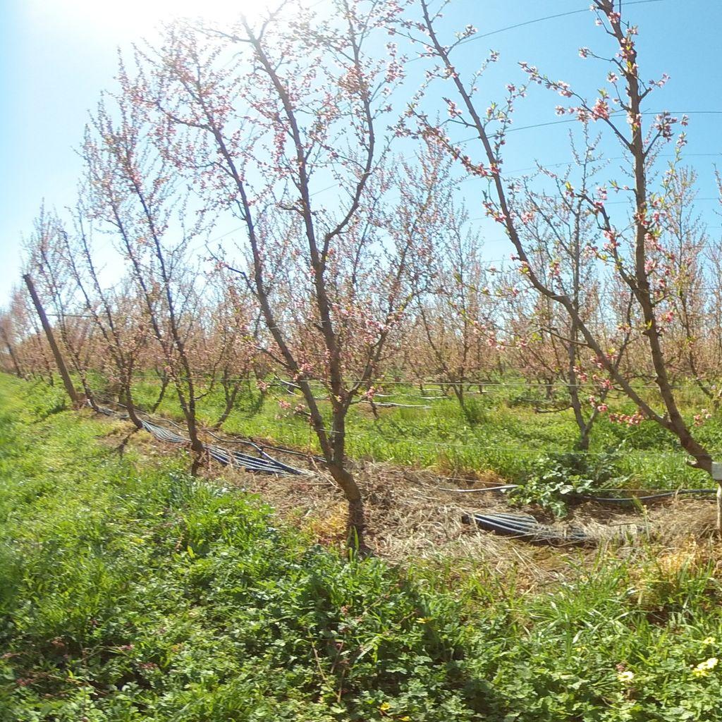 Stage IIIb of fruit development (late)  -20%: severe deficit irrigation