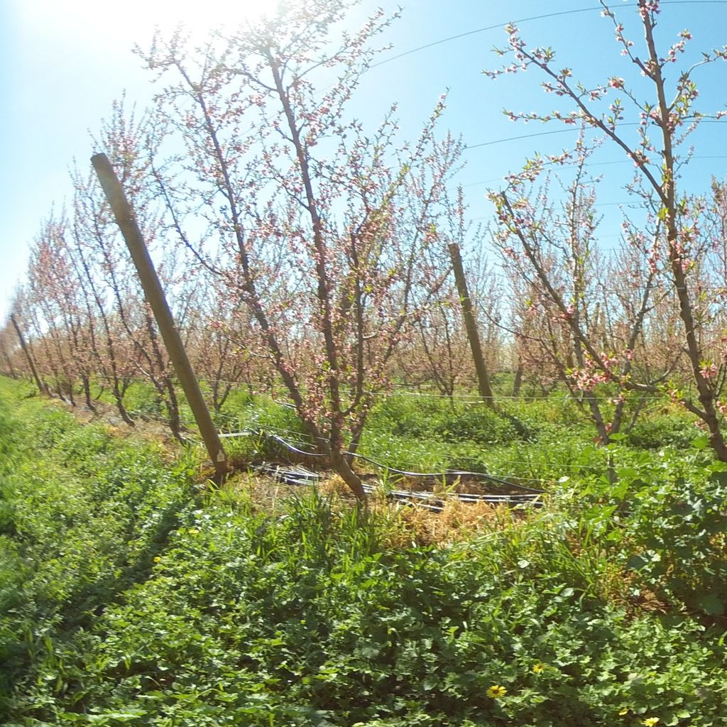Stage II of fruit development - 40%: moderate deficit irrigation