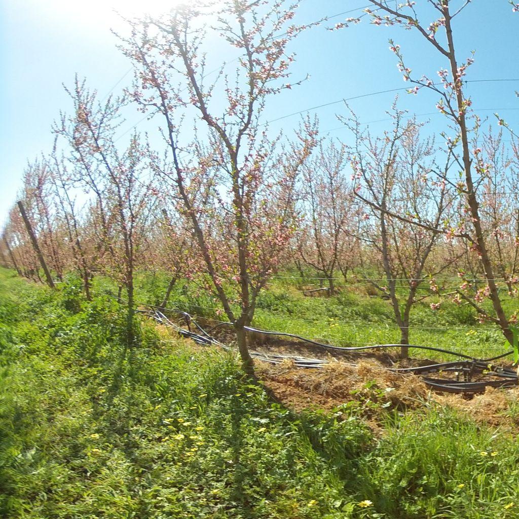 Stage I of fruit development - 20%: severe deficit irrigation