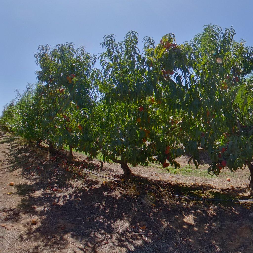 Cadaman rootstock Medium cropload