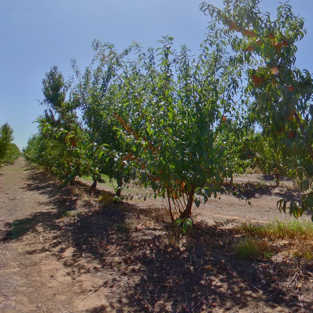 Krymsk 86 rootstock High cropload