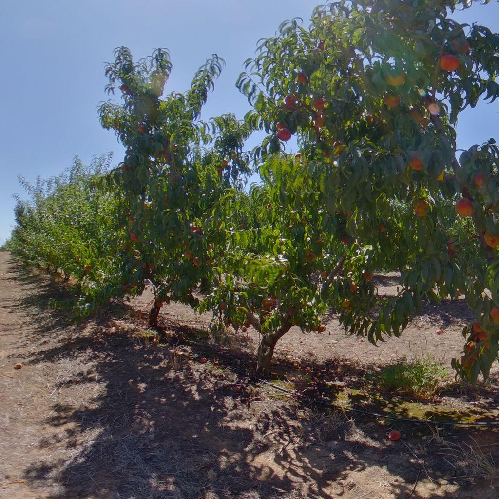 Nemaguard rootstock Low cropload