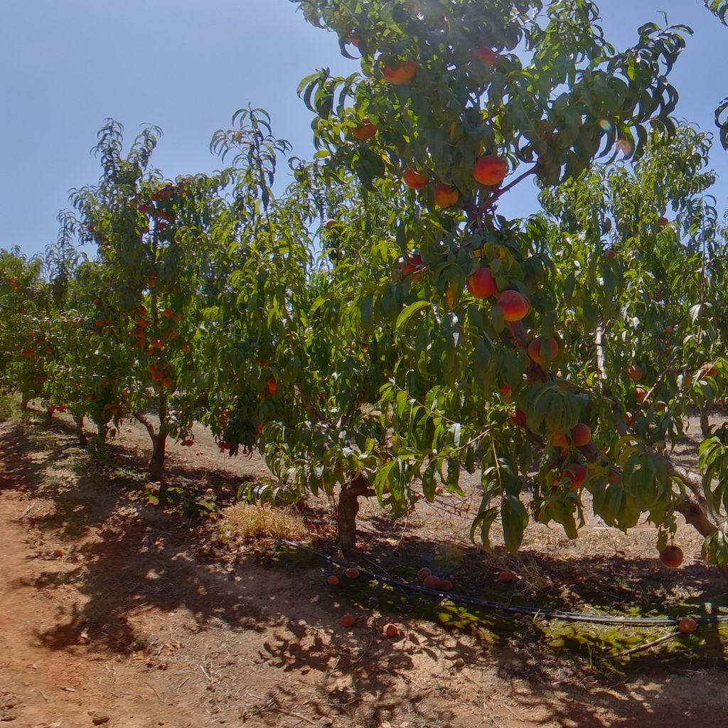 Nemaguard rootstock Medium cropload